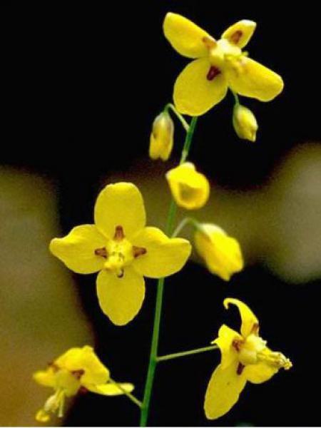 Fleur des elfes jaune