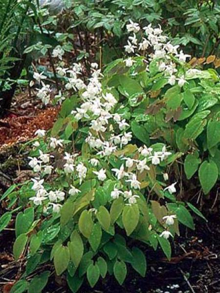 Fleur des elfes 'Niveum'