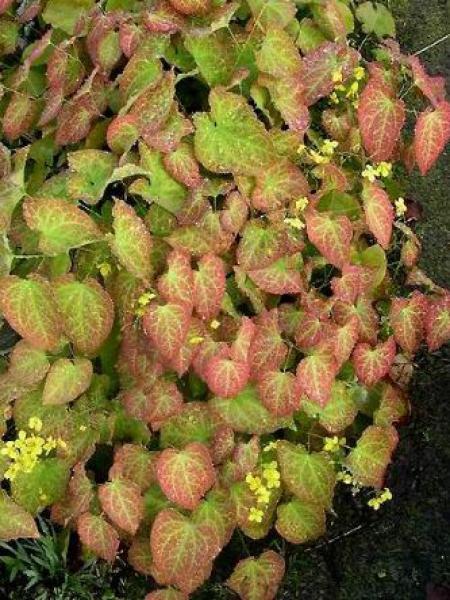 Fleur des elfes perralderianium