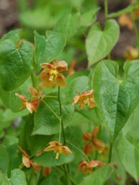 Fleur des elfes pubigerum 'Oranjekönigin'