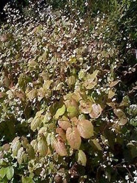 Fleur des elfes pubigerum
