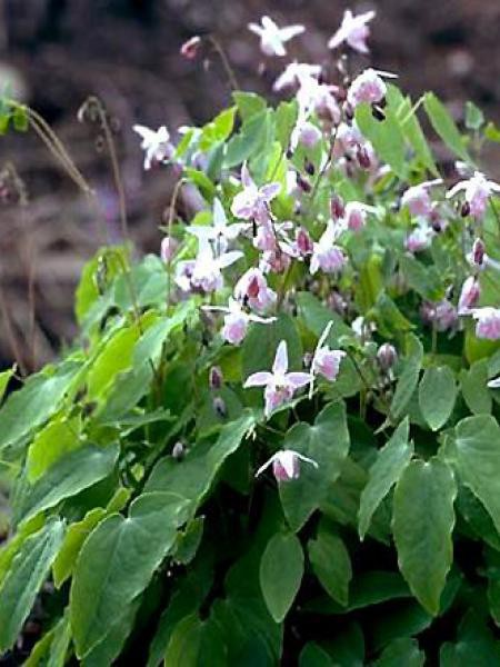 Fleur des elfes 'Roseum'