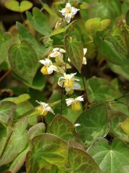 Fleur des elfes 'Sulphureum'
