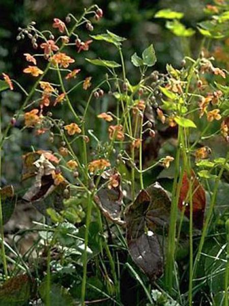 Fleur des elfes warleyense