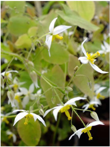Fleur des elfes 'Wudang Star'