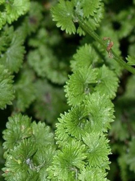 Fougère femelle 'Frizelliae'
