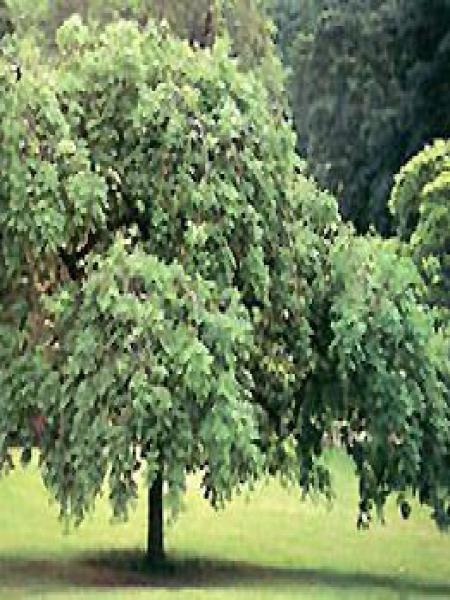 Fraxinus excelsior 'Pendula'