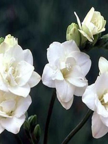 Freesia -blanc-