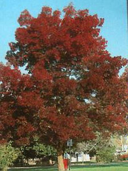 Frêne à feuilles étroites 'Raywood'