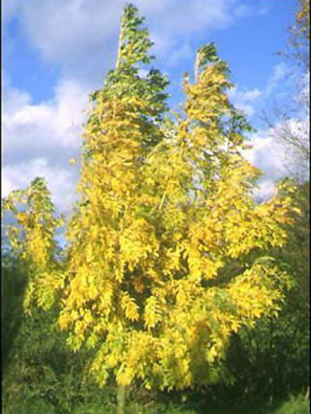 Frêne doré 'Jaspidea'