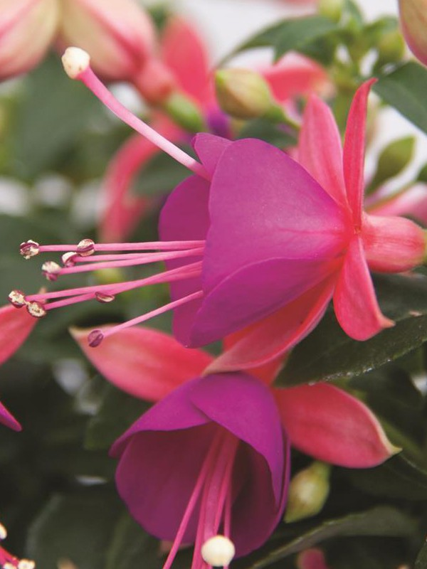 Fuchsia hybrida 'Aretes Upright Barcelona'