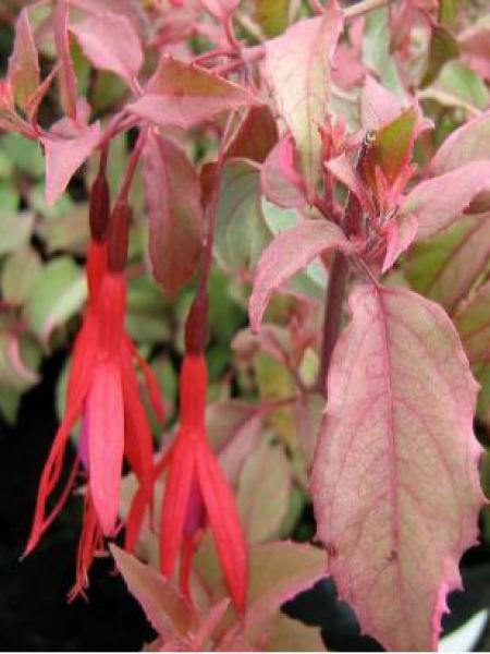 Fuchsia de Magellan 'Diversicolor'