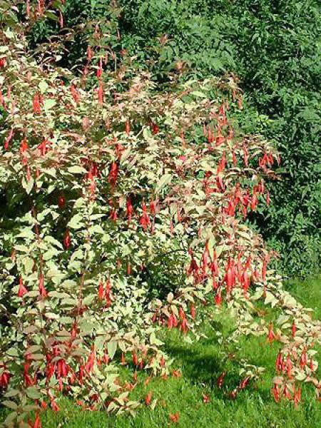 Fuchsia de Magellan 'Tricolorii'