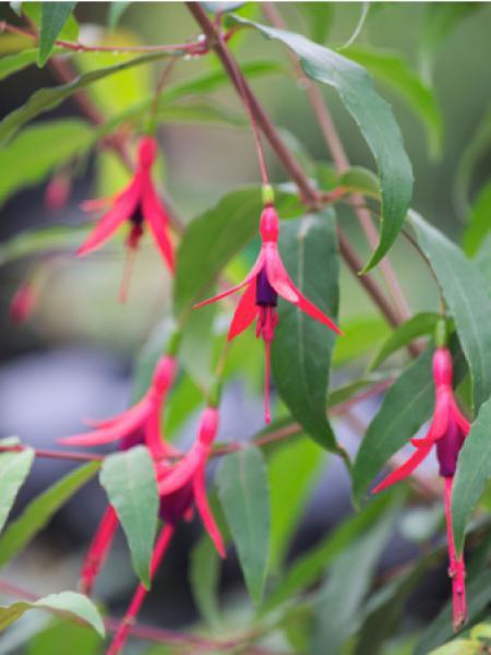 Fuchsia  'Hatschbachii'