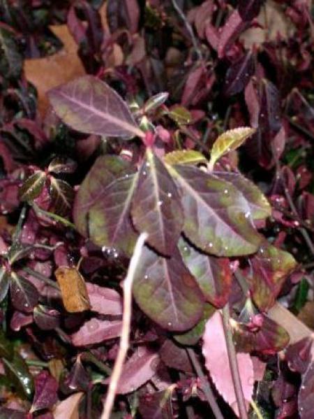 Fusain persistant 'Coloratus'