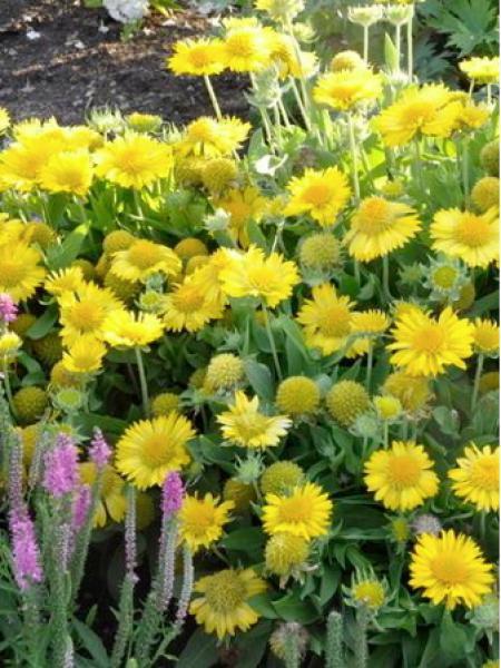 Gaillarde vivace 'Mesa yellow'