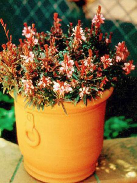 Gaura lindheimeri 'Crimson Butterflies'
