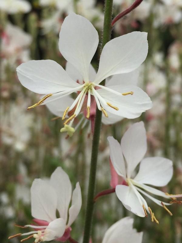 Gaura lindheimeri 'Geyser White'