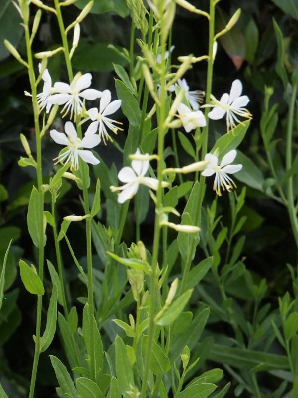 Gaura lindheimeri 'Papillon White'