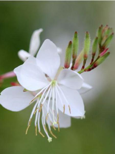 Gaura lindheimeri 'White Dove'
