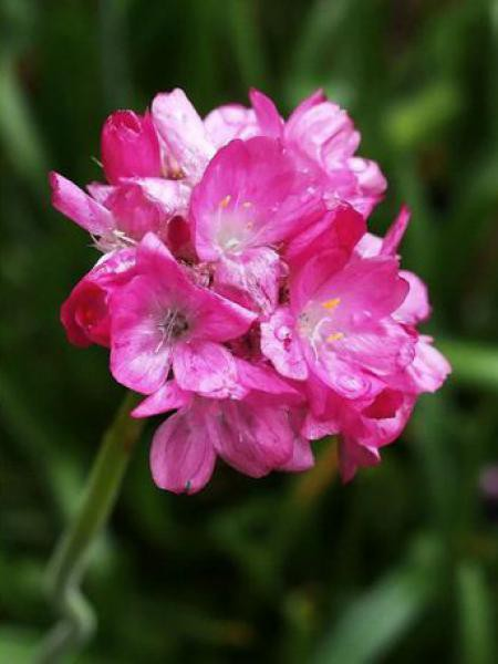 Gazon d'Espagne 'Bee's Ruby'