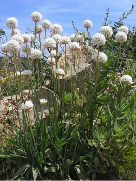 Gazon d'Espagne latifolia