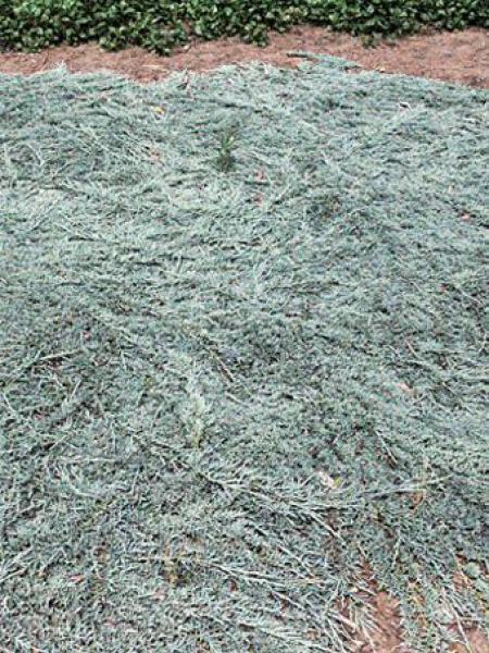 Genévrier horizontal ICEE BLUE®'Monber'