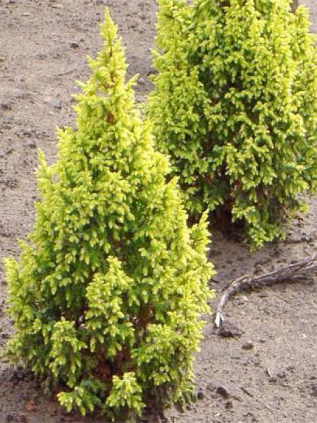 Genévrier 'Hulsdonk Yellow'®