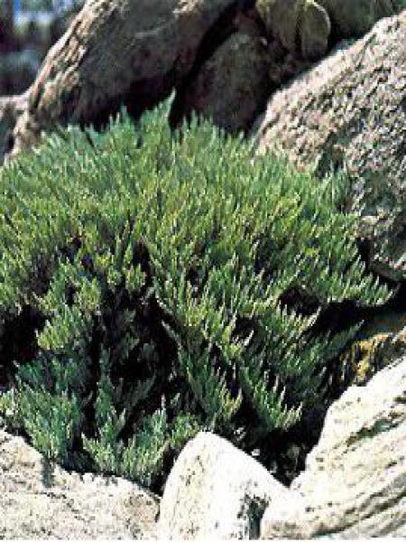 Genévrier sabine 'Tamariscifolia'