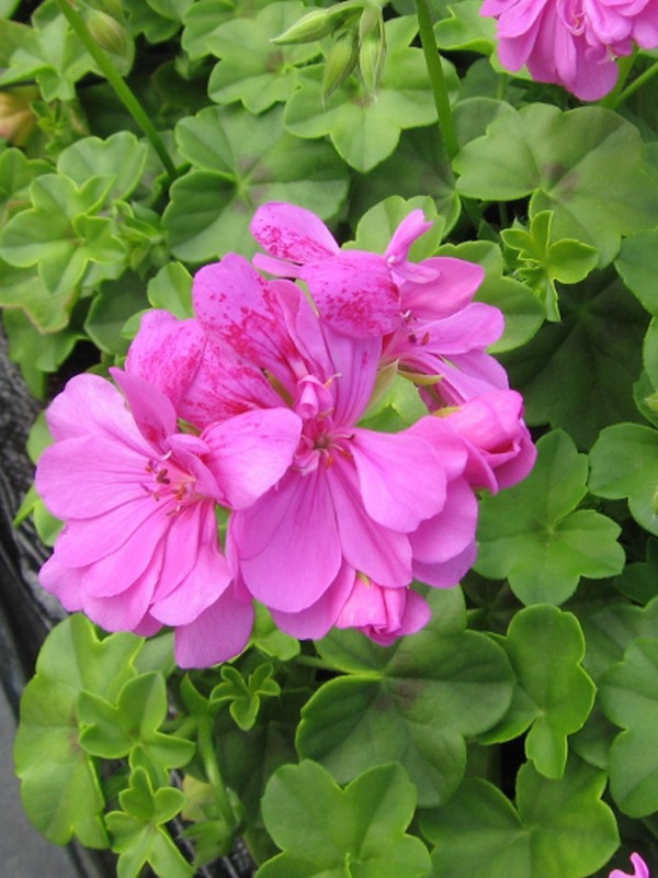 Pelargonium peltatum 'Amelit'