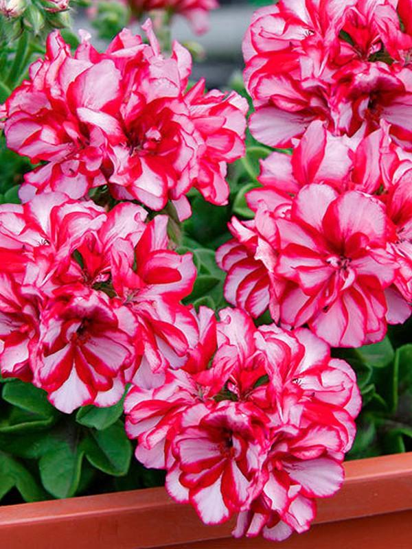 Geranium Lierre à Fleur Double \'Mexica Mary\'