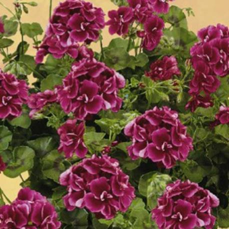 Geranium Lierre à Fleur Double \'Tommy\'