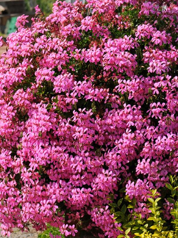 geranium lierre 39 roi du balcon 39 39 lilas 39 pelargonium peltatum le jardin du pic vert. Black Bedroom Furniture Sets. Home Design Ideas