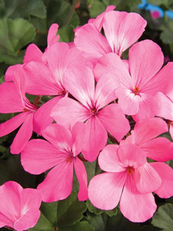 Geranium Lierre Simple À Grande Fleur 'Belle Ville Pink'