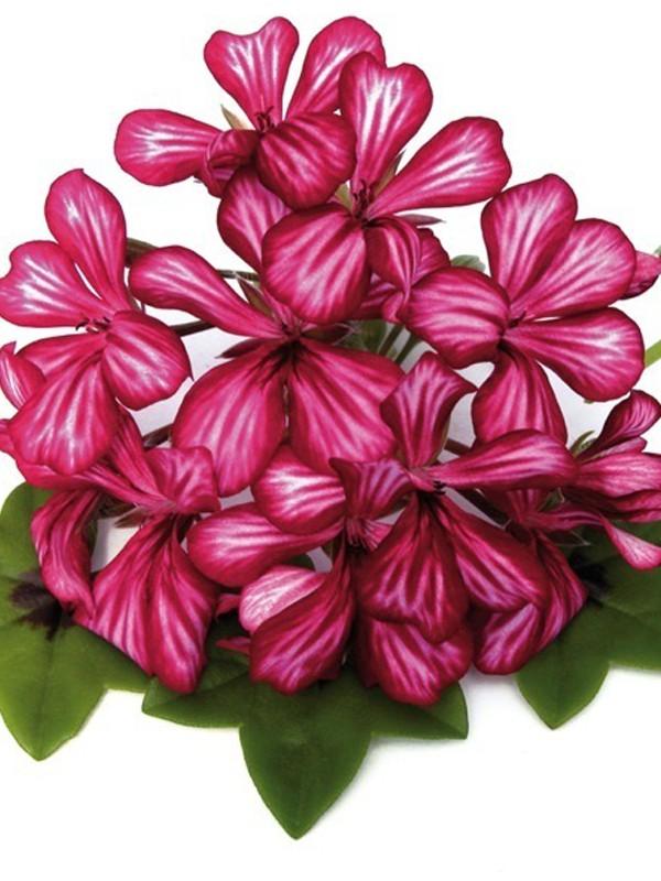 Geranium Lierre Simple À Grande Fleur 'Blizzard Red Bicolor'