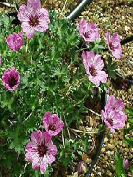 Géranium vivace à feuilles cendrées 'Laurence Flatman'
