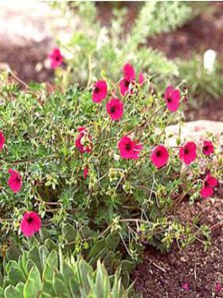 Géranium vivace à feuilles cendrées 'Splendens'