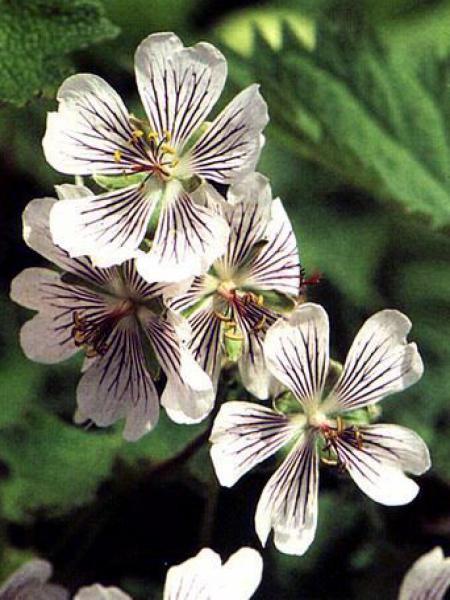 Géranium vivace à feuilles de crèpe