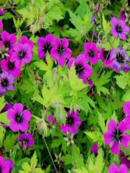 Géranium vivace 'Anne Thomson'