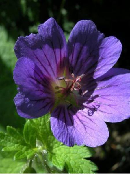 Géranium vivace 'Blue Blood'