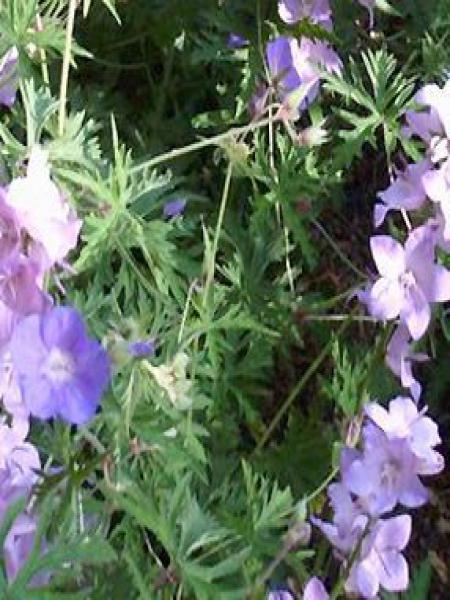 Géranium vivace 'Blue Pearl'