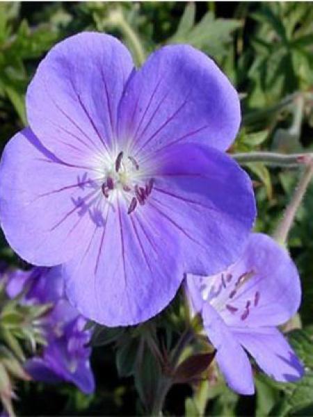 Géranium vivace 'Brookside'