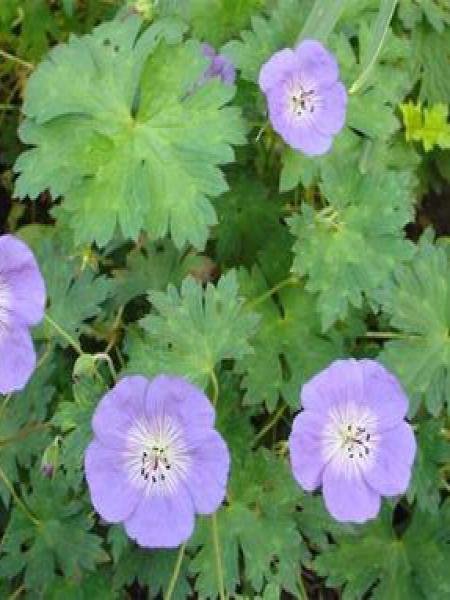 Géranium vivace 'Buxton Variety'