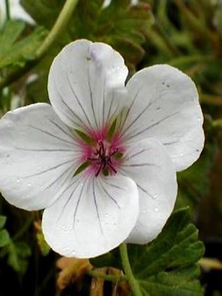 Géranium vivace 'Combland White'