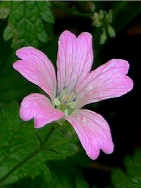 Géranium vivace d'Endress