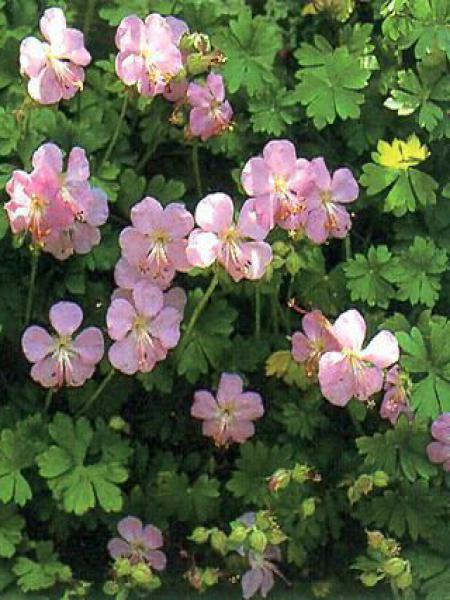 Géranium vivace de Dalmatie