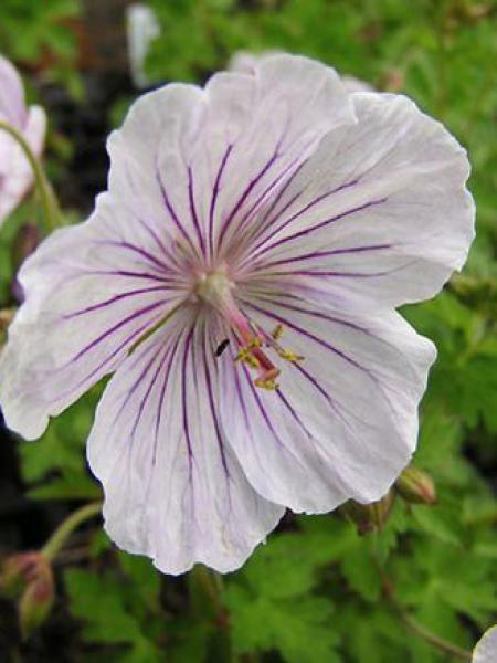 Géranium vivace de l'Himalaya 'Derrick Cook'