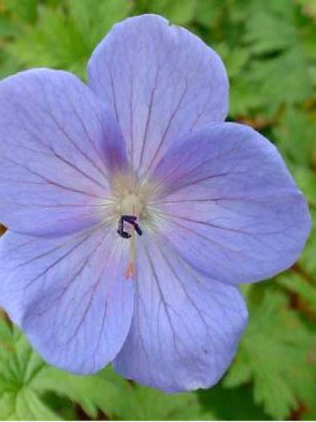 Géranium vivace de l'Himalaya 'Irish Blue'