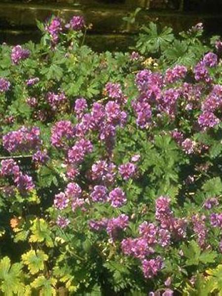 Géranium vivace de l'Himalaya 'Plenum'