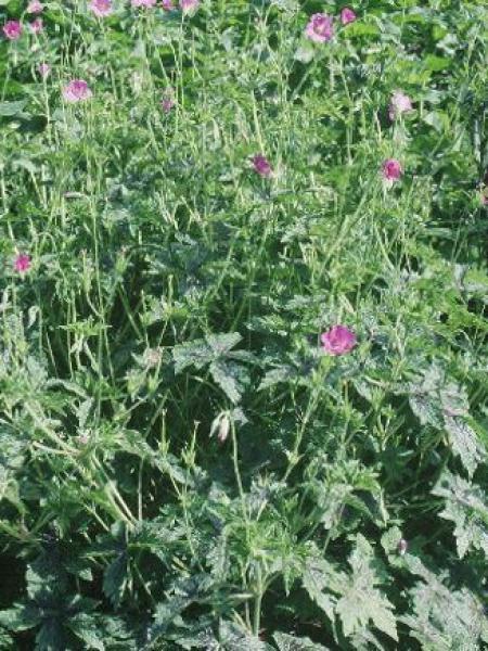 Géranium vivace 'Delabroye'